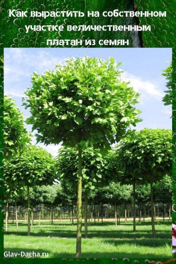 как вырастить платан из семян