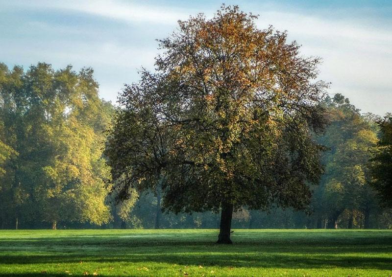 дерево платан или чинара