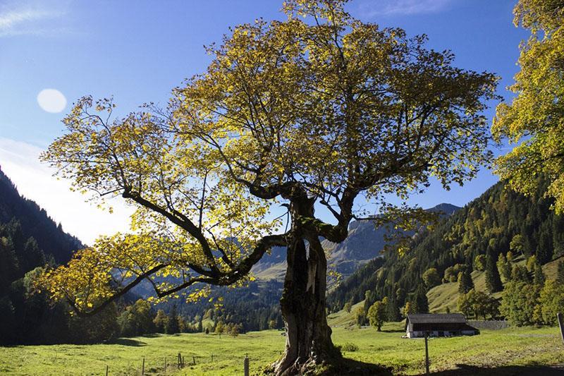 реликтовое дерево платан