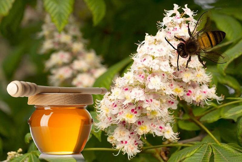 мед из цветов каштана