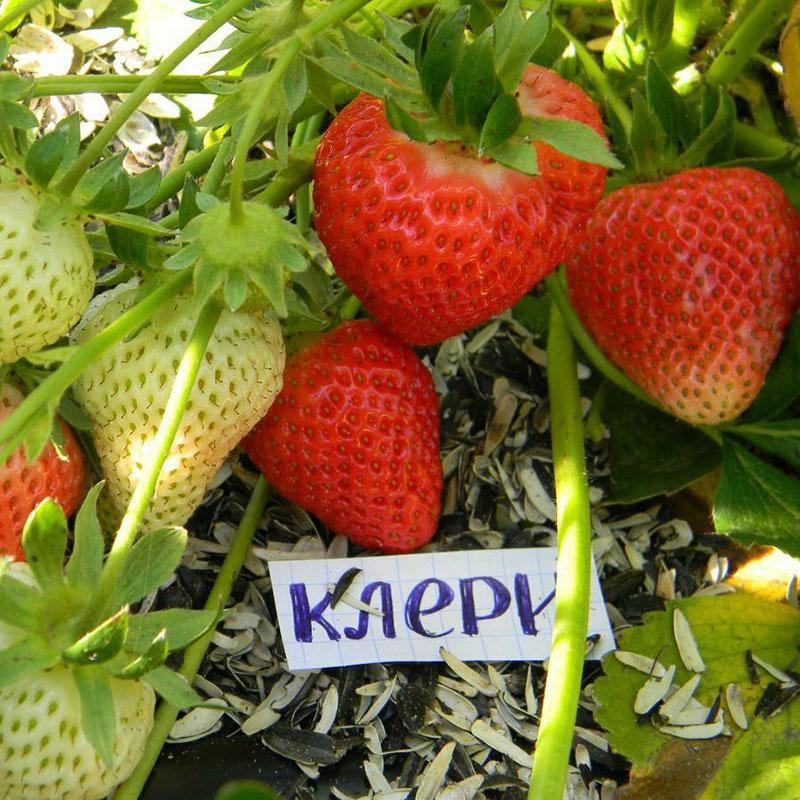 сочные сладкие крупные плоды клубники