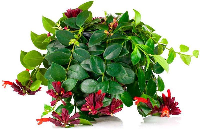 необычное комнатное растение эсхинантус