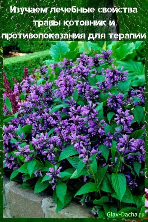 лечебные свойства травы котовник и противопоказания