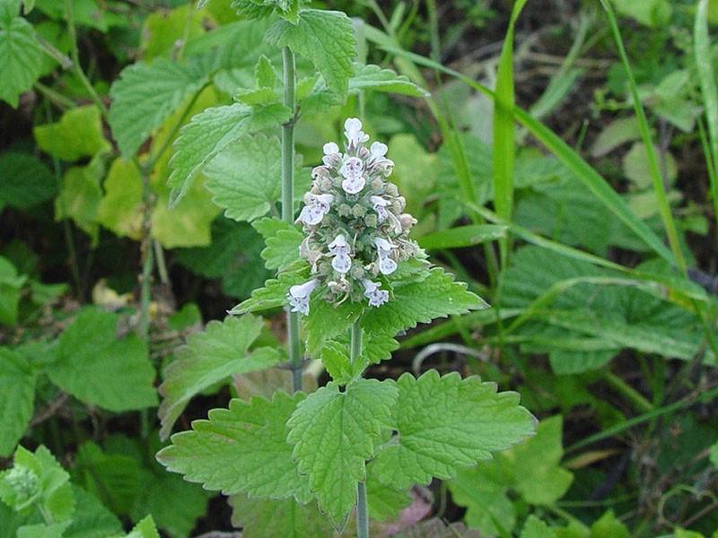 ароматное растение