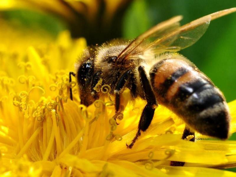 лекарство для пчел Апимакс