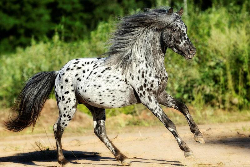 необычная лошадь породы аппалуза