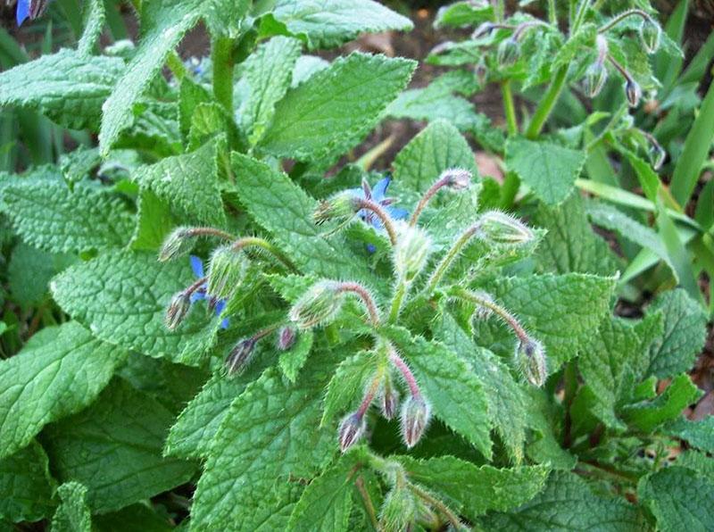 ароматное растение бораго