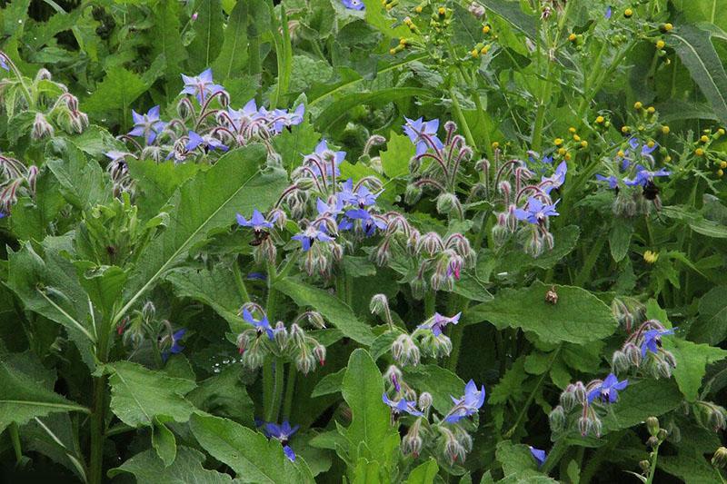 цветет огуречная трава