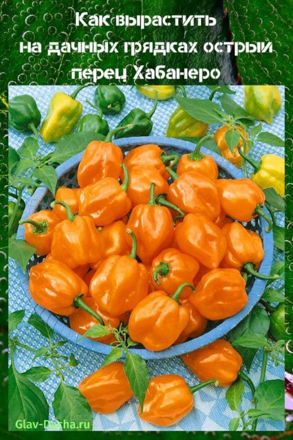 острый перец хабанеро