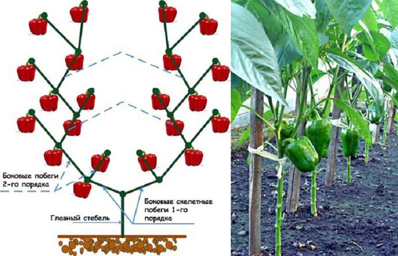 формирование перца для повышение урожая