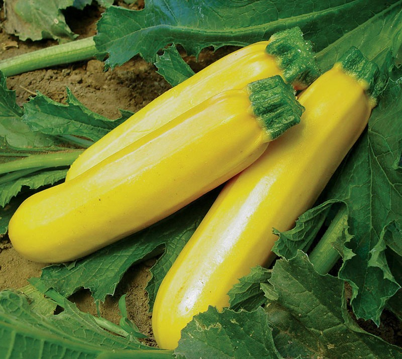 желтый сорт цуккини