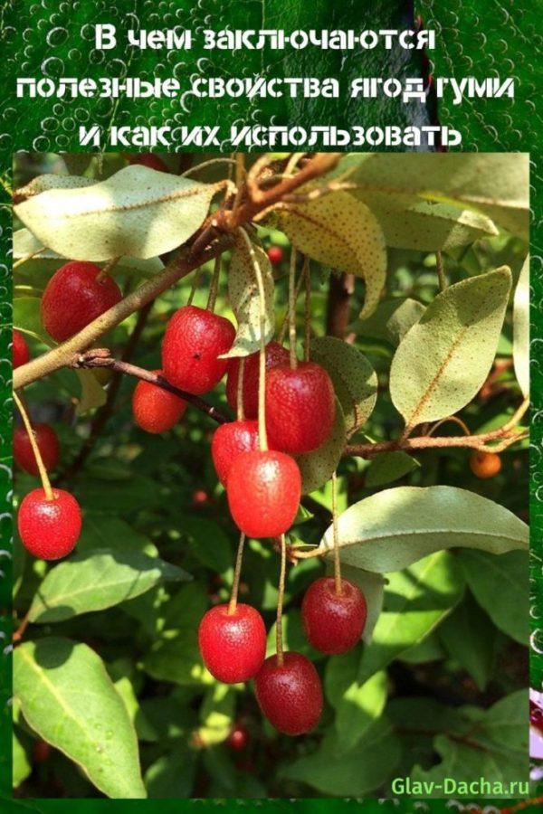 полезные свойства ягод гуми