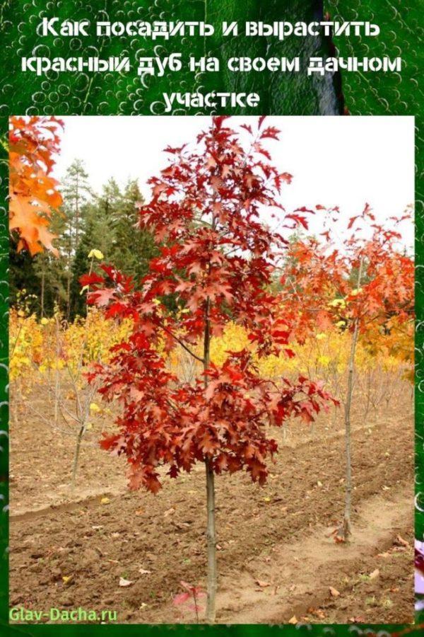 посадить красный дуб