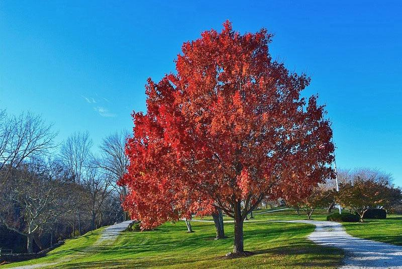 величественный красный дуб