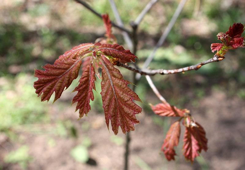 красный дуб ранней весной