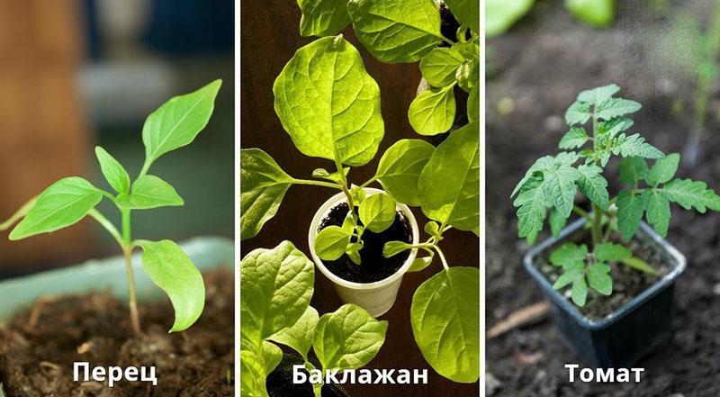 рассада томатов, перцев и баклажанов