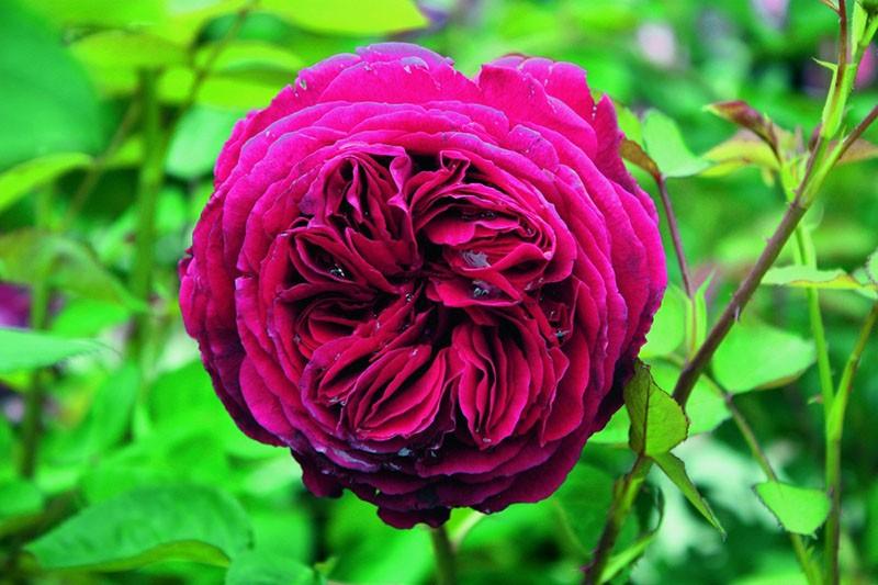 парковая роза Фальстаф
