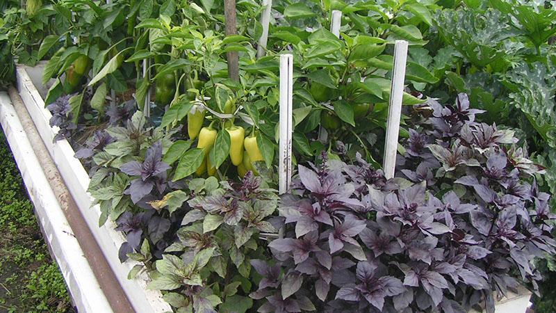 смешанные посадки овощей и пряностей