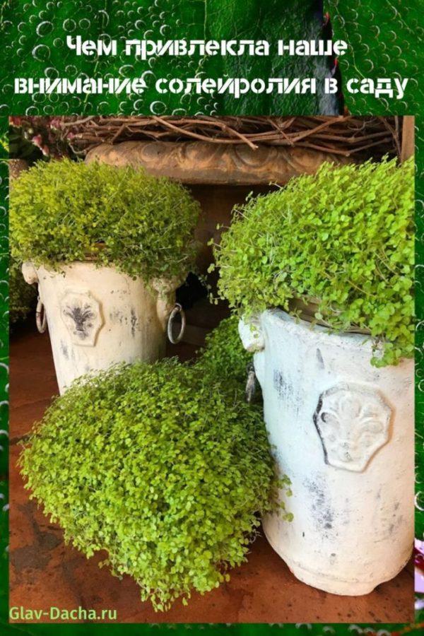 солейролия в саду
