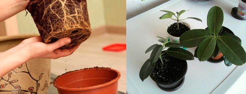 Выращивание, обрезка и декоративное оформление стафонотиса