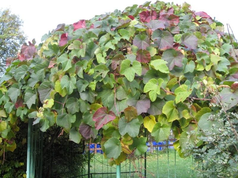 куст винограда амурский