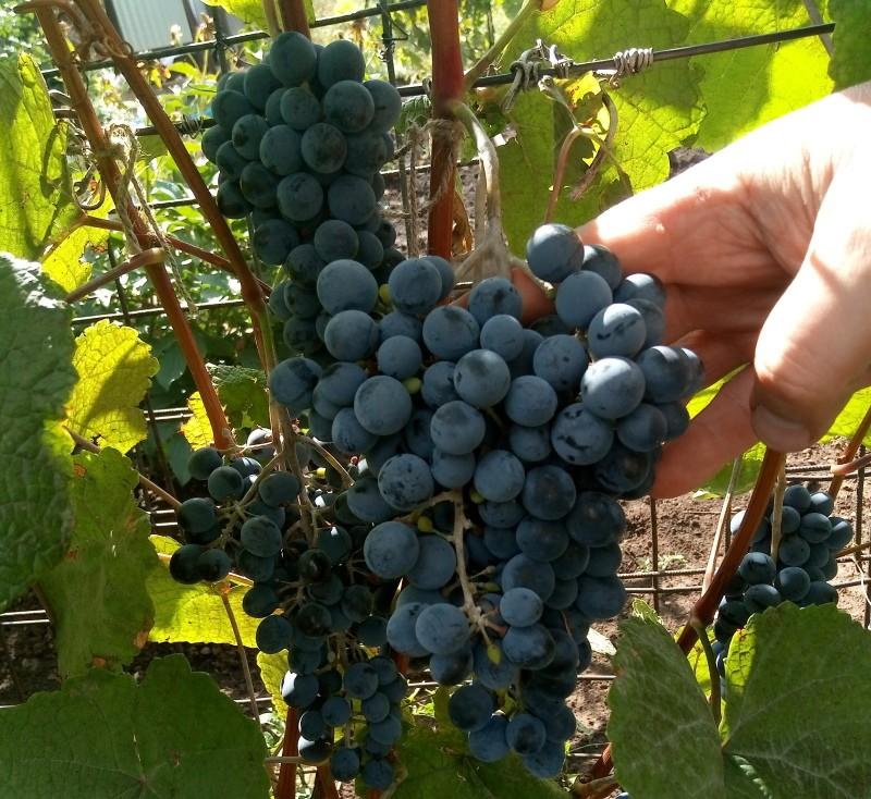 виноград амурский урожайность и вкус