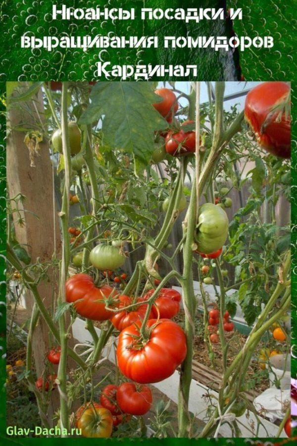 выращивание помидоров кардинал