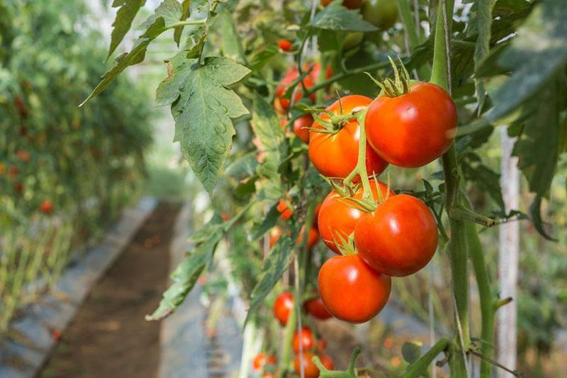 урожай томатов Джина
