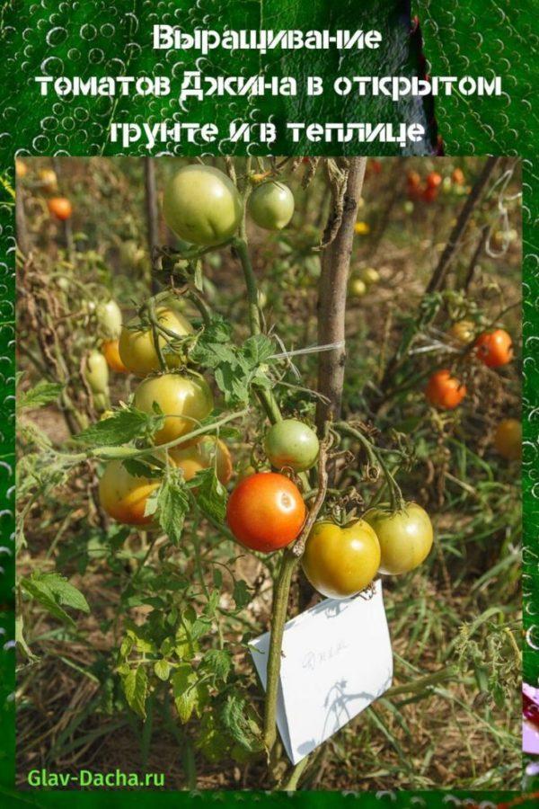 выращивание томатов Джина
