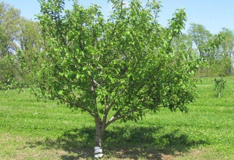 дерево яблони Башкирская красавица