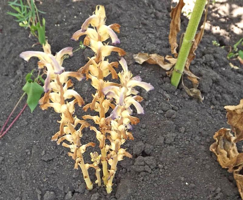 растение-паразит