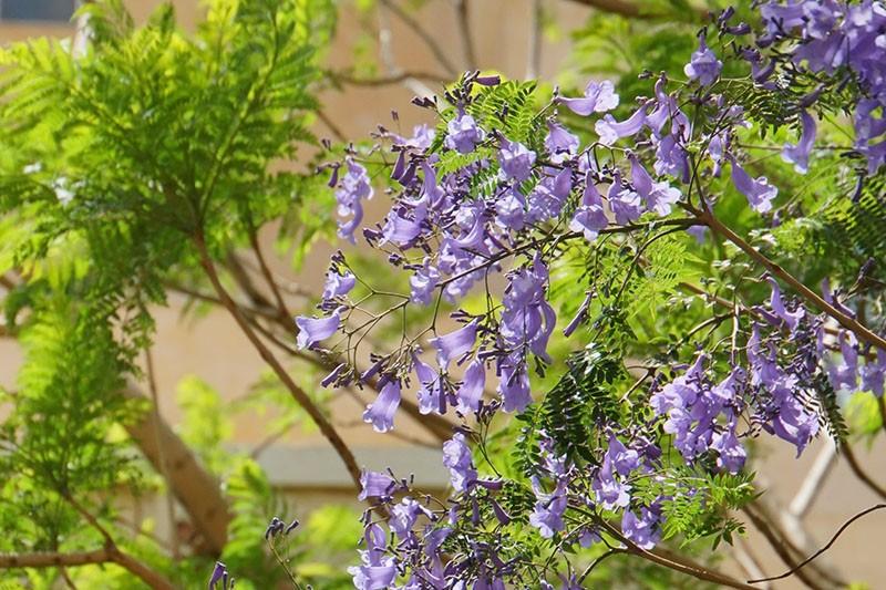 цветет фиалковое дерево