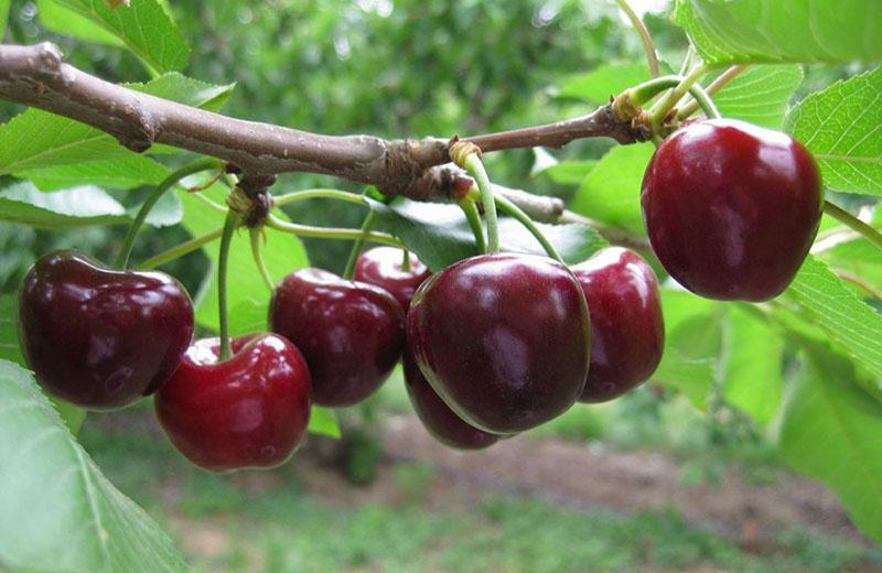 созревают вишни