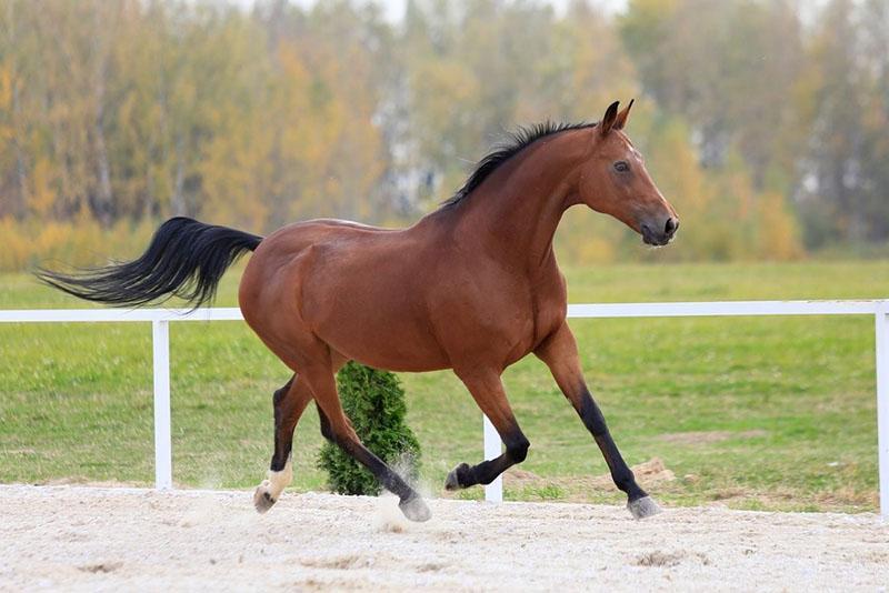 особенность окраса гнедого коня