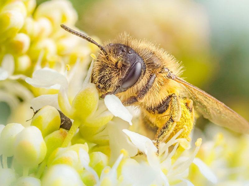 сбор пыльцы пчелами