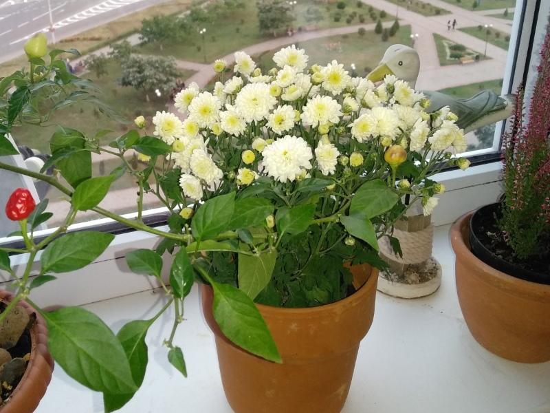 уход за хризантемой в горшке в период цветения
