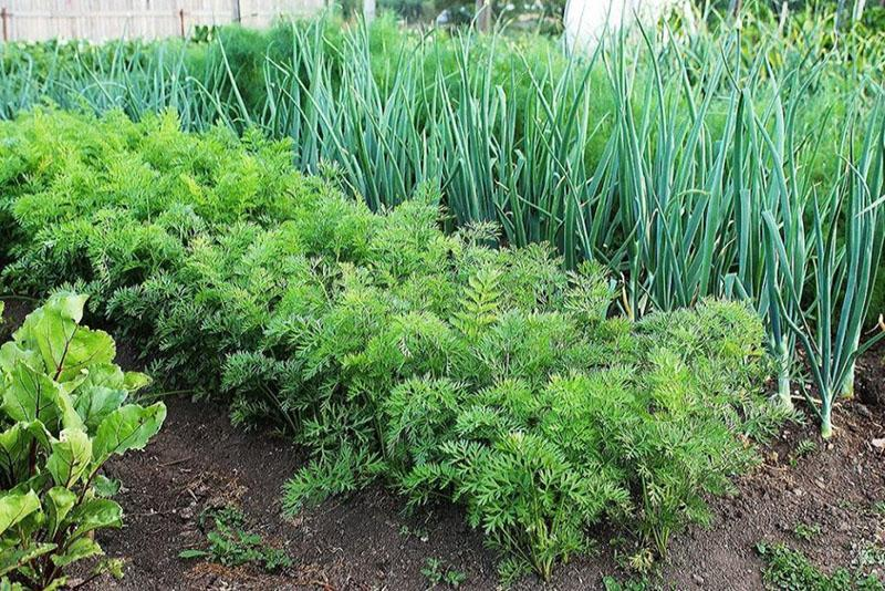 преимущества осенней посадки овощей и зелени