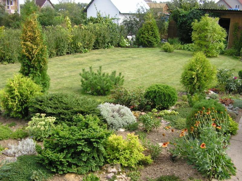 хвойники в саду