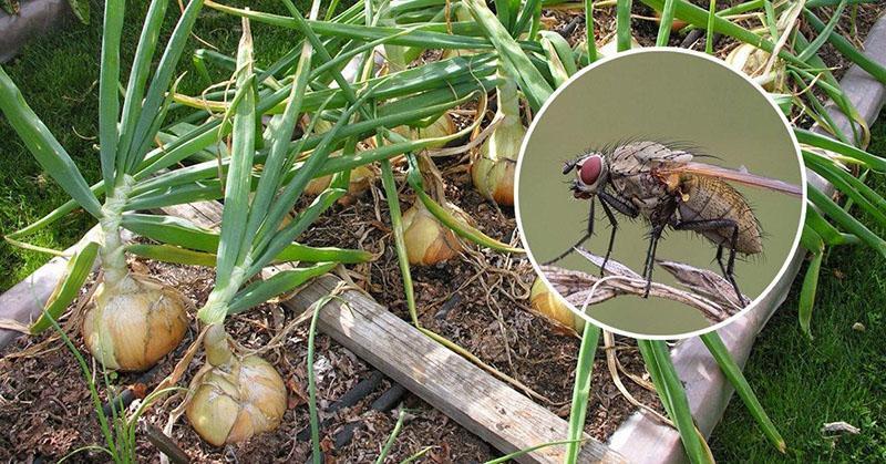 вредитель луковая муха