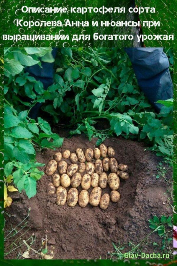 описание картофеля сорта Королева Анна