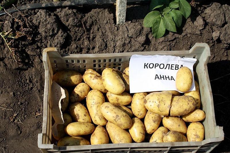 гибридный сорта картофеля