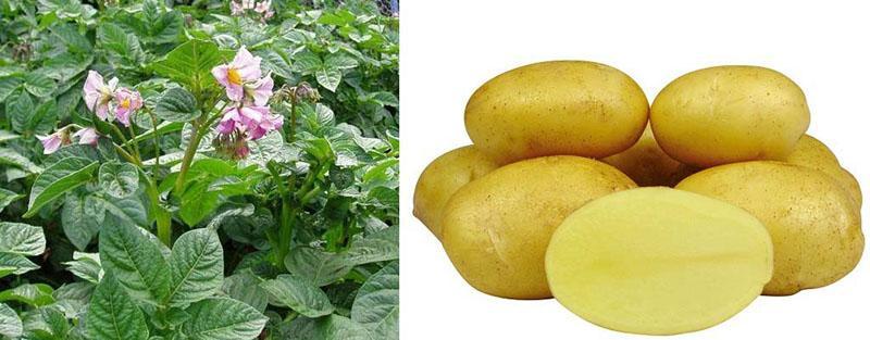 цветет картофель королева анна