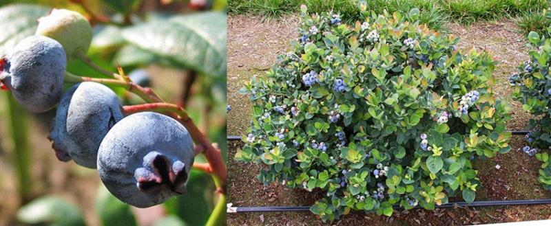плодоношение голубики сорта дивная