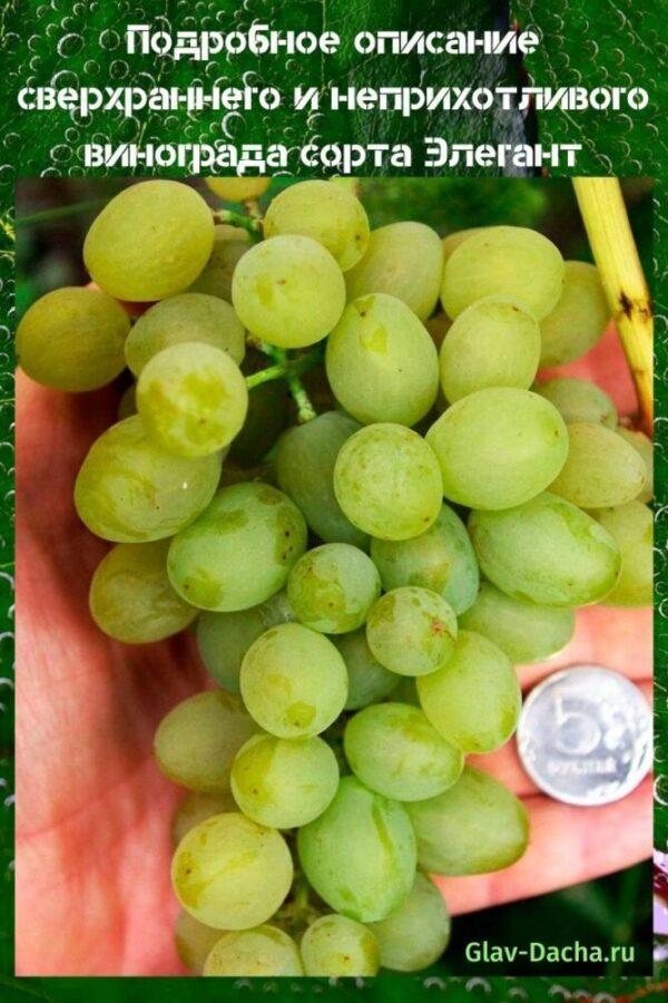описание винограда сорта элегант