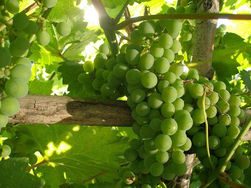 раннеспелый сорт винограда элегант