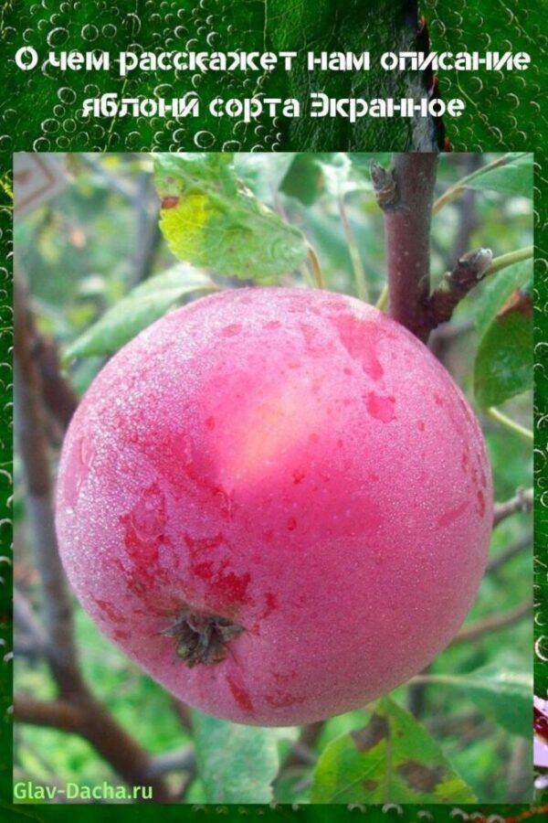 описание яблони сорта экранное