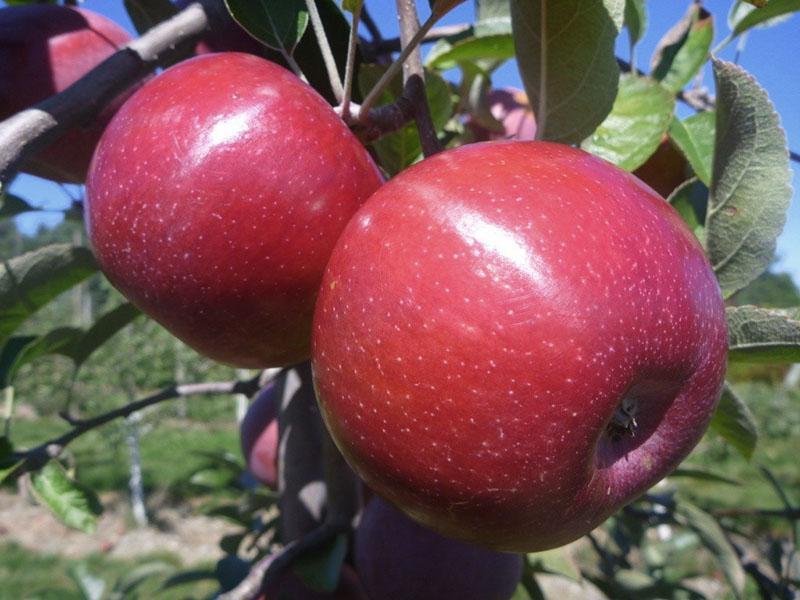 гибридный сорт яблони экранное