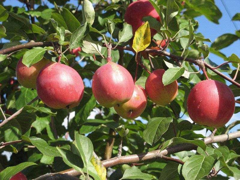 морозоустойчивый сорт яблок