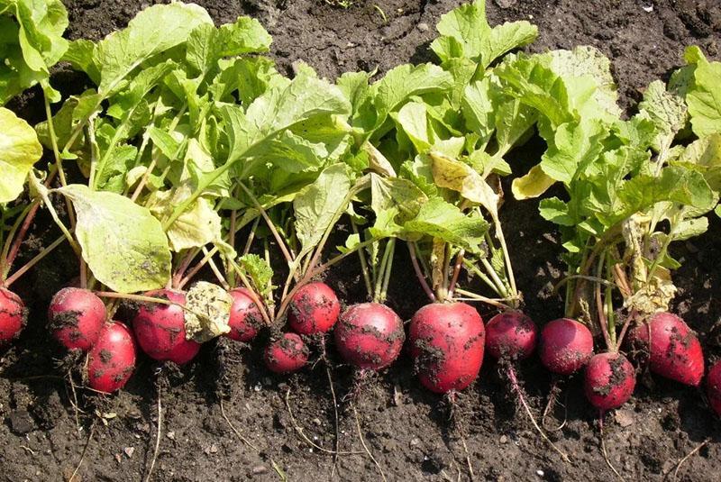 несвоевременный сбор урожая