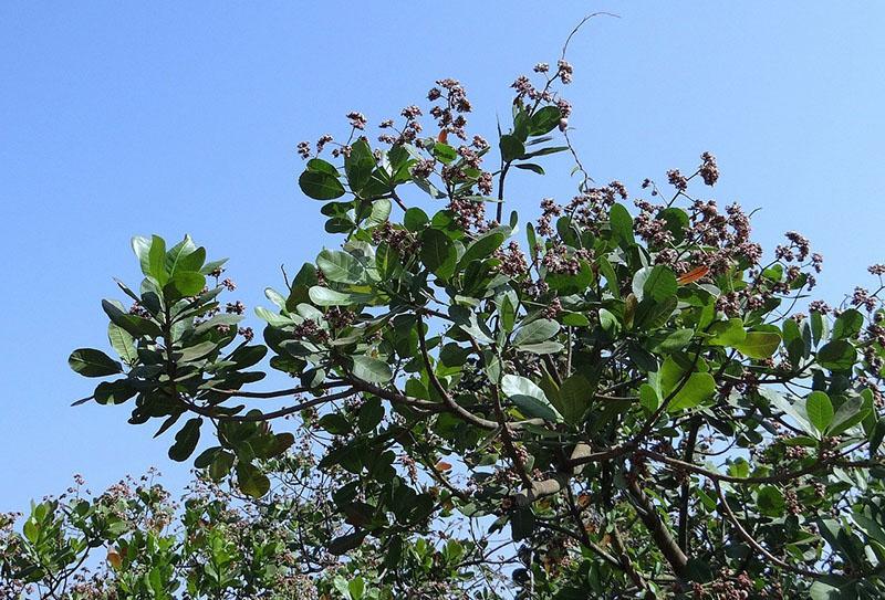 вечнозеленое дерево ореха кешью
